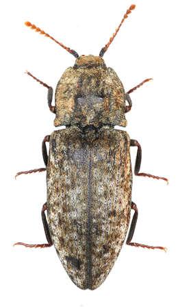 elateridae: Mousegrey Click Beetle on white Background - Agrypnus murina (Linnaeus, 1758) Stock Photo
