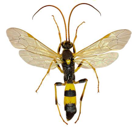 ichneumonidae: The Parasitic Wasp Amblyteles on white Background - Amblyteles armatorius (Frster, 1771)