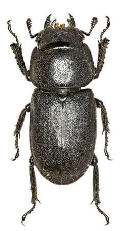 lesser: Lesser Stag Beetle on white Background - Dorcus parallelipipedus (Linnaeus, 1758)