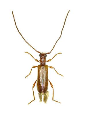 Brown Longhorn Beetle Obrium on white Background - Obrium brunneum (Fabricius 1792)