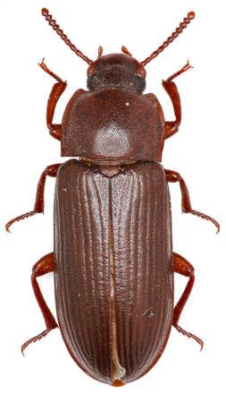 mealworm: Mealworm Beetle on white Background - Tenebrio molitor (Linnaeus, 1758) Stock Photo