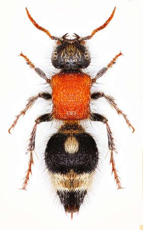 pallas: Velvet Ant Nemka on white Background - Nemka viduata viduata (Pallas, 1773)