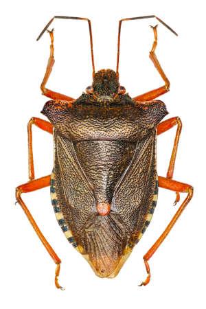 pentatomidae: Forest bug on white Background - Pentatoma rufipes (Linnaeus, 1758)