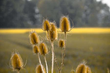 Teasel Seedheads. Germany, Northeim. Stock Photo