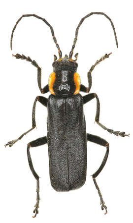 entomology: Black Soldier Beetle on white Background - Cantharis obscura (Linnaeus, 1758)