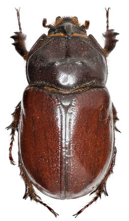 European rhinoceros beetle on white Background - Oryctes nasicornis (Linnaeus, 1758) Stock Photo