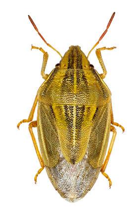 shieldbug: Bishops Mitre Shieldbug on white Background - Aelia acuminata (Linnaeus, 1758)