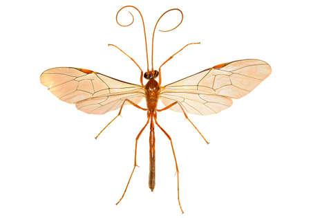 ichneumonidae: Ichneumon Wasp on white background - Ophion sp.