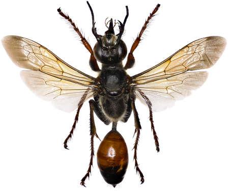 nesting: Golden Digger Wasp on white background - Sphex funerarius (Gussakovskij, 1934) Stock Photo