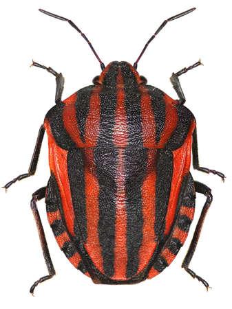 graphosoma: Italian Striped-Bug on white background - Graphosoma italicum (Mller, 1766) Stock Photo