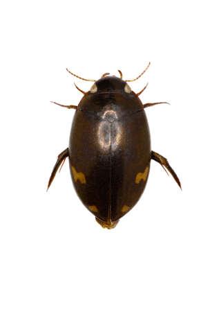 imago: Predaceous Diving Beetle - Agabus (Gaurodytes) didymus (Olivier, 1795) Stock Photo