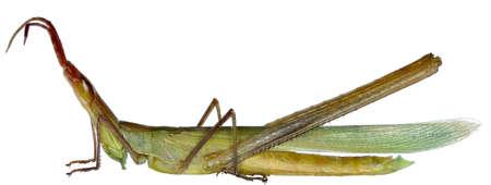 mediterranea: Snouted Grasshopper on white background - Acrida ungarica mediterranea (Dirsh, 1949) Stock Photo