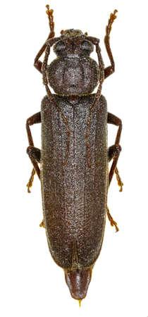 cerambycidae: Dusky Longhorn Beetle on white Background  -  Arhopalus rusticus (Linnaeus, 1758) Stock Photo