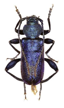 long horn beetle: Violet Longhorn Beetle on white Background  -  Callidium violaceum (Linnaeus 1758) Stock Photo