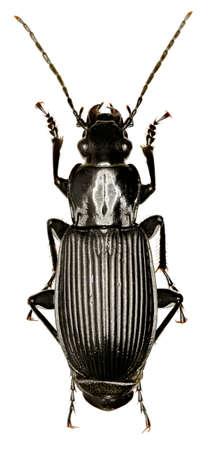 Blackground Beetle on white background - Pterostichus (platysma) niger (Schaller, 1783)