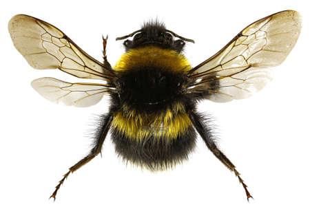bombus: The Garden Bumblebee on white Background  -  Bombus hortorum (Linnaeus,1761)