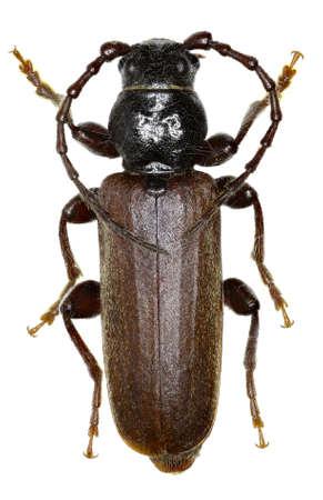 cerambycidae: Black Spruce Longhorn Beetle  on white Background  -  Tetropium castaneum (Linnaeus, 1758 )