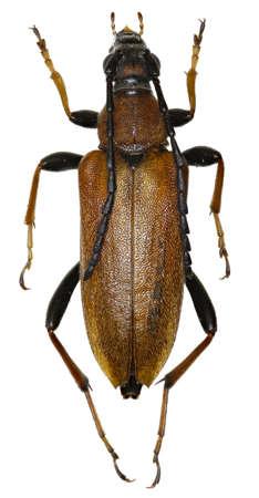 cerambycidae: Red Longhorn Beetle on white Background - Stictoleptura rubra (Linnaeus, 1758)