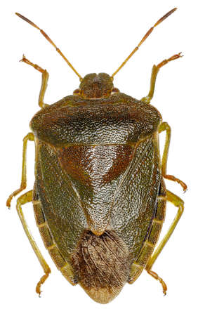 pentatomidae: Green shield bug on white Background  -  Palomena prasina  (Linnaeus, 1761) Stock Photo