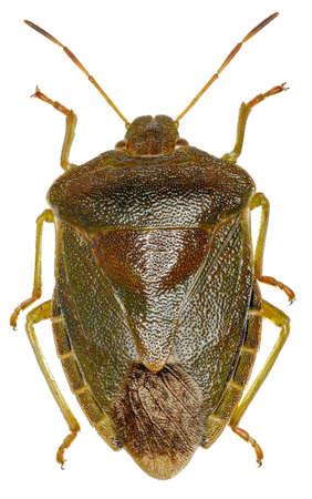 Green shield bug on white Background  -  Palomena prasina  (Linnaeus, 1761) Stock Photo