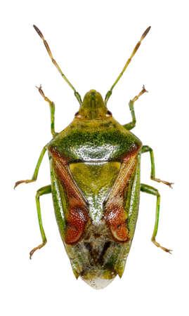 shieldbug: Juniper Shield Bug on white Background  -  Cyphostethus tristriatus (Fabricius, 1787)