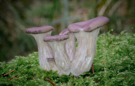 The Oyster Mushrooms in Pine Forest  -  Pleurotus sp.