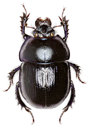 Forest Dung Beetle on white Background  -  Anoplotrupes stercorosus (Scriba 1791) Stock Photo