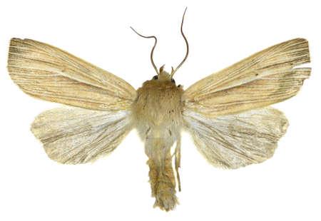 Smoky Wainscot on white Background - Mythimna impura (Hübner, 1808)