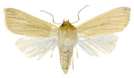wainscot: Common Wainscot on white Background  -  Mythimna pallens (Linnaeus, 1758).