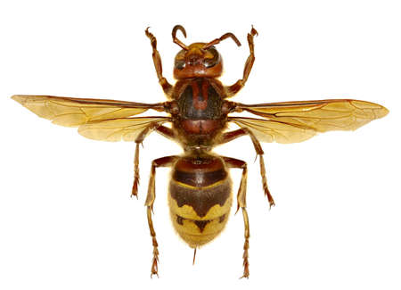 European Hornet on white Background  -  Vespa crabro (Linnaeus, 1758)