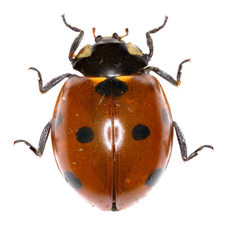 Seven-spot Ladybird on white Background  -  Coccinella septempunctata (Linnaeus, 1758) 版權商用圖片