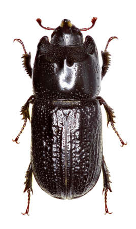 Horned Stag Beetle on white Background   -  Sinodendron cylindricum (Linnaeus, 1758) Reklamní fotografie