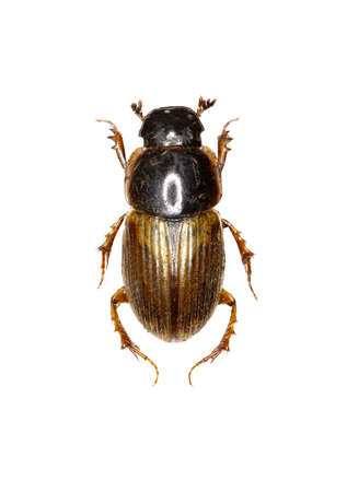 Dung Beetle Aphodius on white Background - Aphodius prodromus (Brahm, 1790) Stock Photo