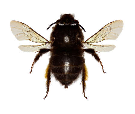 Hairy-footed Flower Bee on white Background  -  Anthophora plumipes (Pallas,1772)