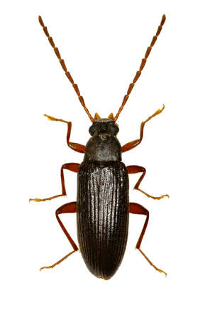 Comb-clawed Beetle Allecula on white Background  -  Allecula morio (Fabricius, 1787) Stock Photo