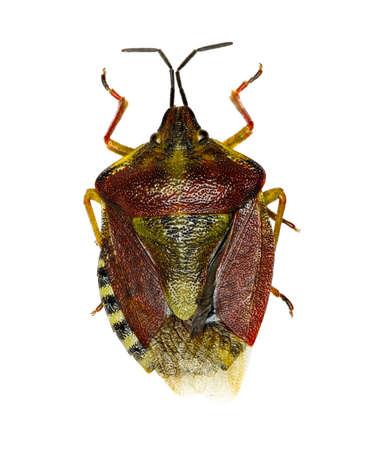 Black-shouldered Shield Bug sur fond blanc - Carpocoris purpureipennis (De Geer, 1773) Banque d'images - 82423198