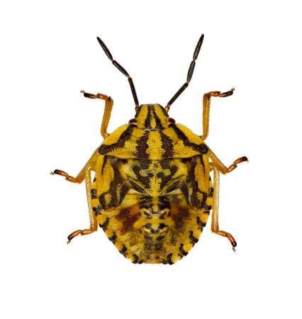 Larve d'insecte bouclier pourpre sur fond blanc - Carpocoris purpureipennis (De Geer, 1773) Banque d'images - 82572226