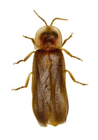 Firefly on white Background  -  Lampyridae sp. Stock Photo