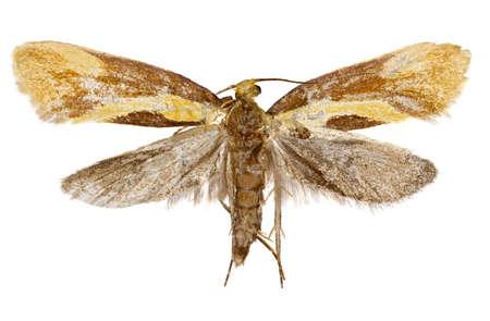 Harpella papillon de nuit sur fond blanc - Harpella forficella (Scopoli, 1763) Banque d'images - 83911480
