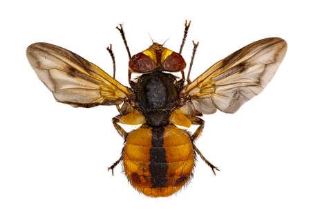 Tachinidés volent l'ectasie sur fond blanc - Ectophasia crassipennis (Fabricius, 1794) Banque d'images - 84685927