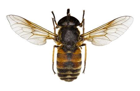 Philipomyia sur un fond blanc - Philipomyia graeca (Fabricius, 1794) Banque d'images - 84666665