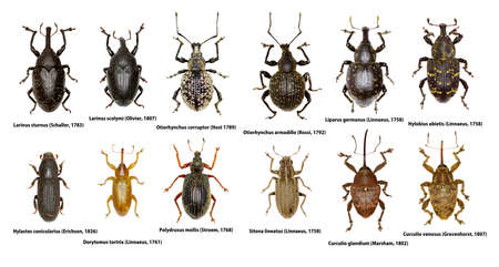 Set of Weevil Beetles of Europe  -  Curculionoidea Stock Photo