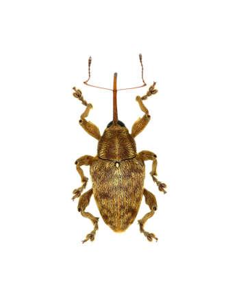 Acorn Nut Weevil on white Background  -  Curculio venosus (Gravenhorst, 1807) Stock Photo