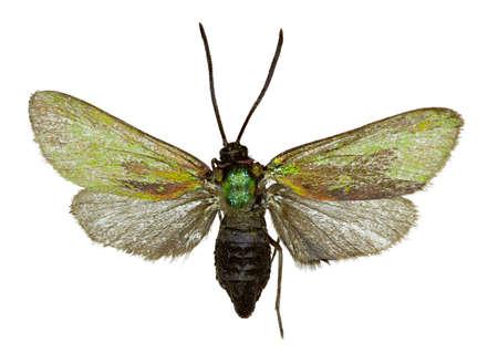 Forester vert sur fond blanc - Adscita statices (Linnaeus, 1758) Banque d'images - 85438427