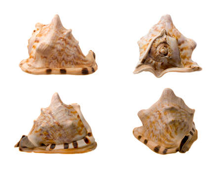 Four Views of a Conch Shell on white Background