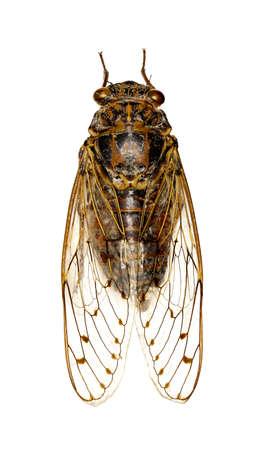 Cigale sur fond blanc - Cicada orni (Linnaeus, 1758) Banque d'images - 87768253