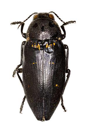 Metallic Wood-Boring Beetle on white Background  -  Buprestis cupressi (Germar, 1817) Stock Photo