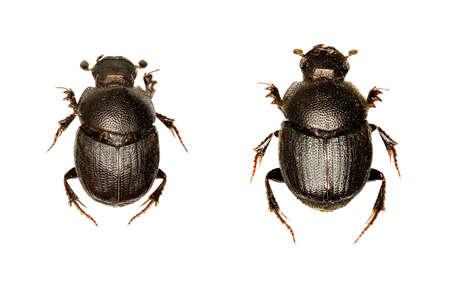 Coléoptère Onthophage sur fond blanc - Onthophagus grossepunctatus (Repteur, 1905)