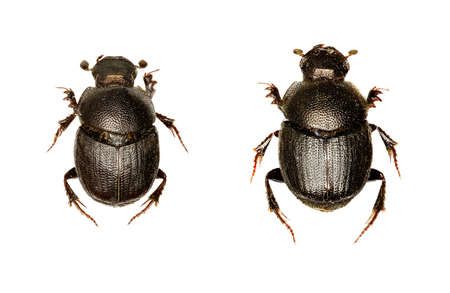 Dung Beetle Onthophagus on white Background  -  Onthophagus grossepunctatus (Reitter, 1905) Stock Photo