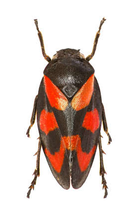 Red and Black Froghopper on white Background  -  Cercopis vulnerata (Rossi, 1807)